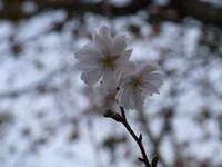 冬桜.JPG