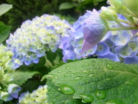 紫陽花と雨.JPG