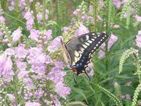 秋の蝶1.jpg