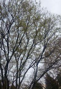 欅の芽.jpg